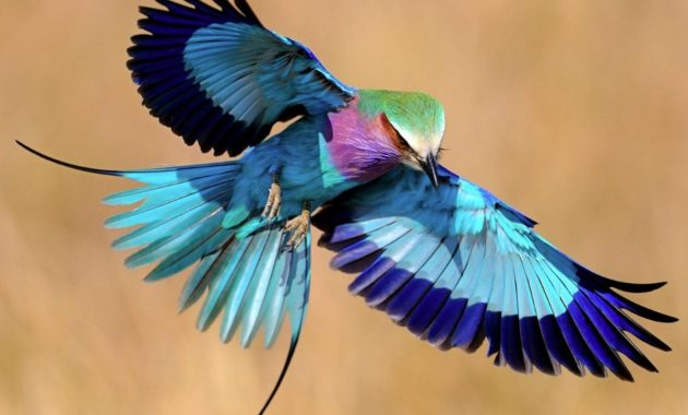 animals that start with l : Lilac-breasted Roller