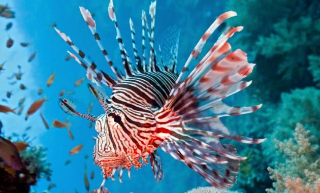 animals that start with l : Lionfish