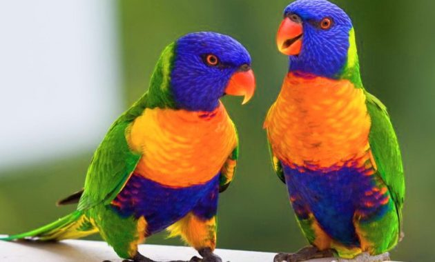 animals that start with l : Lorikeet