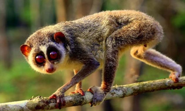 animals that start with l : Loris