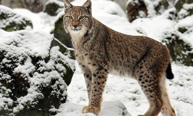 animals that start with l : Lynx