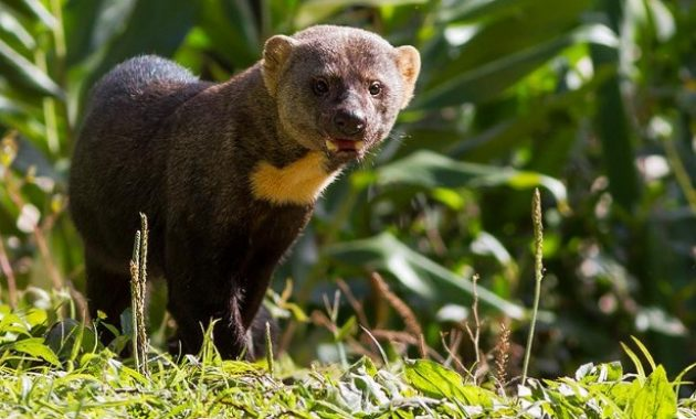 Animals that start with t: Tayra