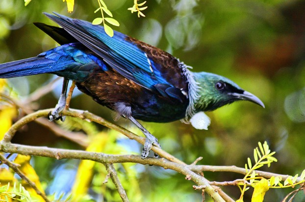 Animals that start with t: Tui