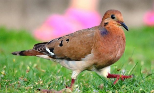 animals that start with z: Zenaida Dove