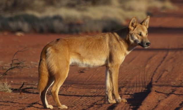 animals that start with D: Dingo