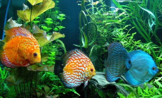 animals that start with D: Discus fish
