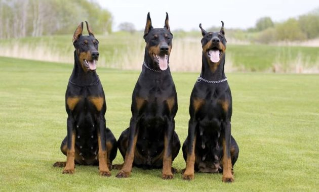 animals that start with D: Doberman Pinschers
