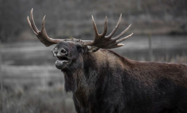 animals that start with e: Elk