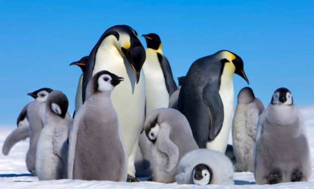 animals that start with e: Emperor penguin