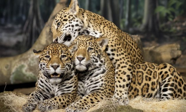 animals that start with the letter j 10 spectacular animals that start with the letter j 20458 | Jaguar 630x380