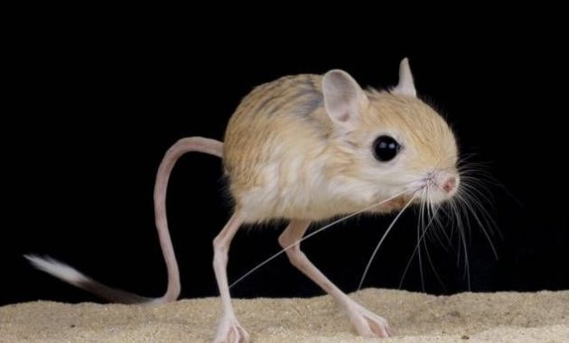 animals that start with j : Jerboa