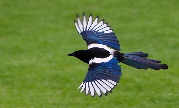 animals that start with m: Magpie