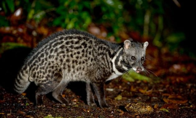 animals that start with m: Malayan Civet