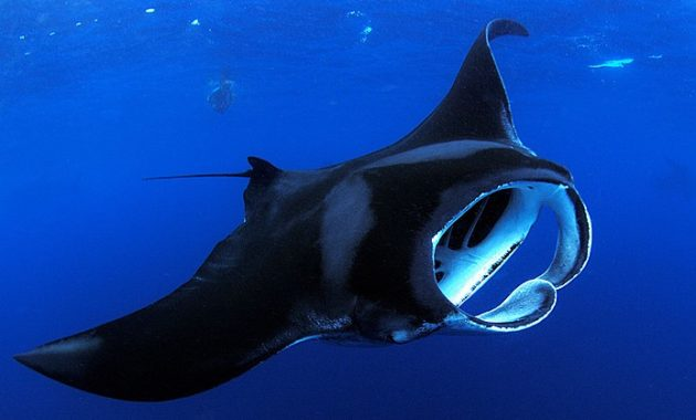 animals that start with m: Manta Ray
