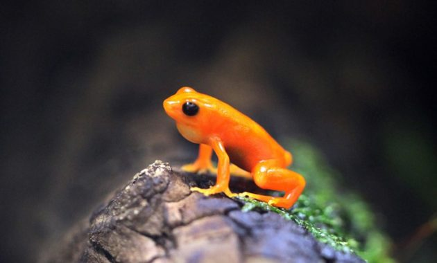 animals that start with m: Mantella Frog