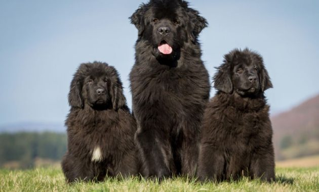 animals that start with n: Newfoundland