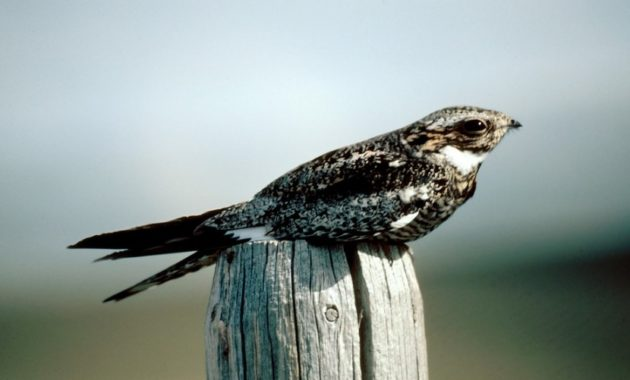animals that start with n: Nightjar