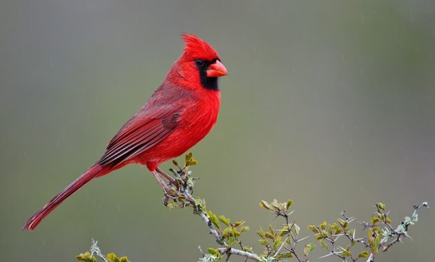 animals that start with n: Northern Cardinals