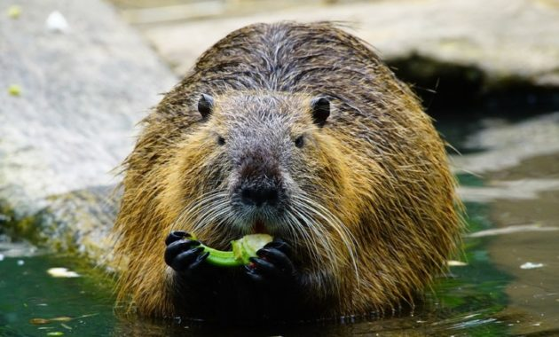 animals that start with n: Nutria