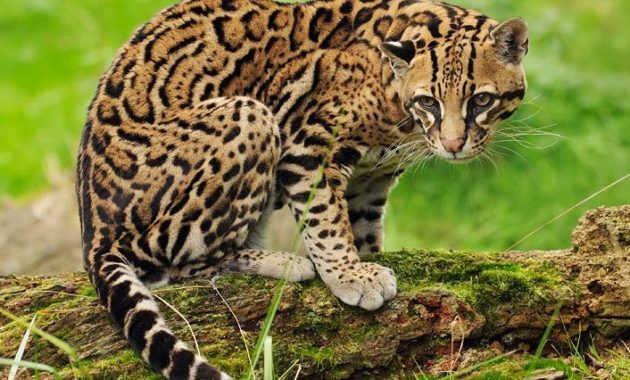 animals that start with o: Ocelot