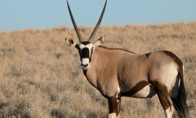 animals that start with o: oryx