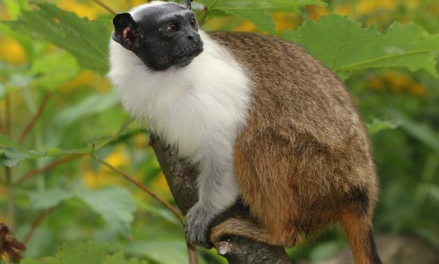 animals that start with p : Pied Tamarin