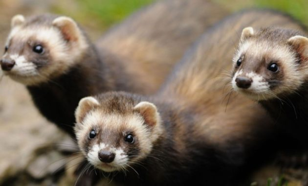 animals that start with p : Polecat