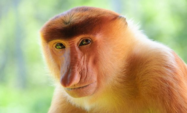 animals that start with p : Proboscis Monkey