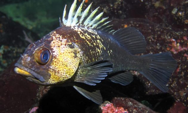 animals that start with Q: Quillback Rockfish