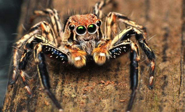 animals that start with j: jumping spider Salticidae