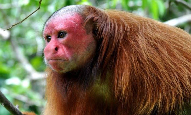 animals that start with u: Uakari