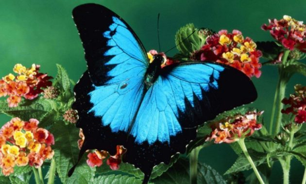 animals that start with u: Ulysses Butterfly