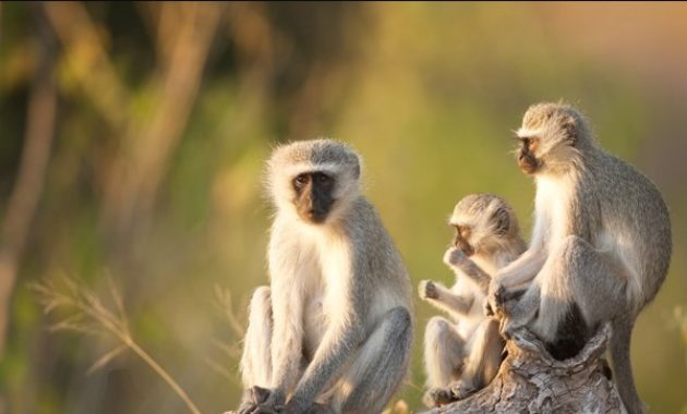 animals that start with v : Vervet Monkey