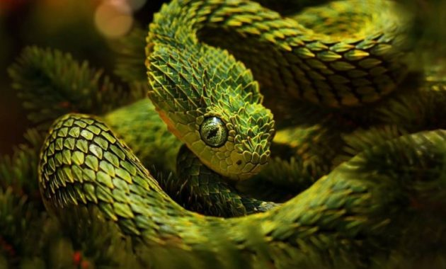 animals that start with v : Viper