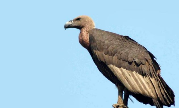 animals that start with v : Vulture