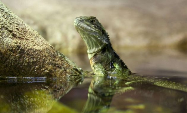Animals That Start with W: Water Dragon