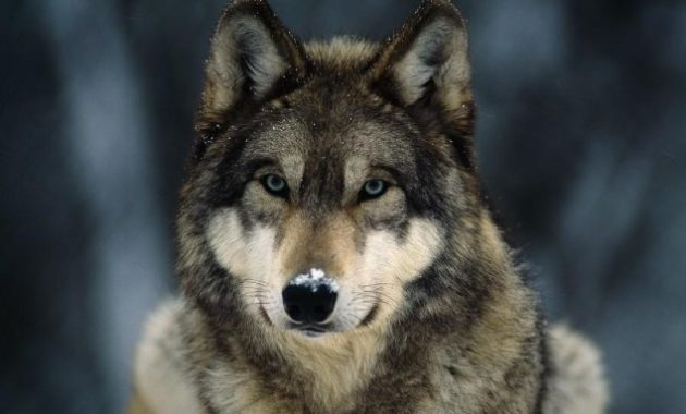 Animals That Start with W: Wolf