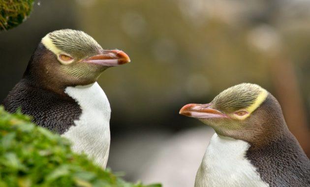 animals that start with y : Yellow-Eyed Penguin