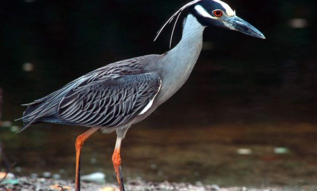 animals that start with y : Yellow-crowned Night Heron