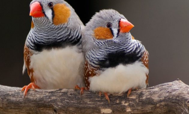 animals that start with z: Zebra finch