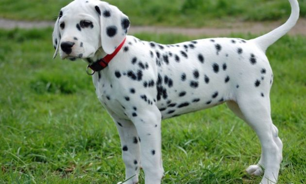 animals that start with D: dalmation