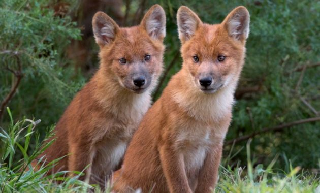 animals that start with D: dhole