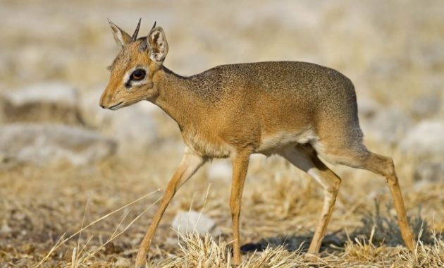 animals that start with D: dik dik
