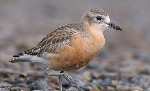 animals that start with D: dotterel