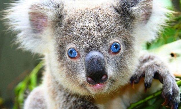 down syndrome animals koala