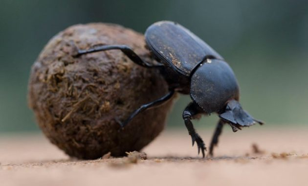 animals that start with D: dung beetles