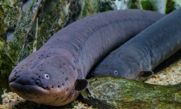 animals that start with e: electric eels