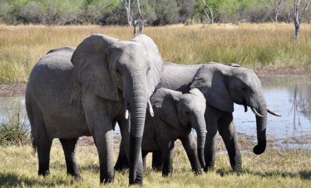 animals that start with e: elephant