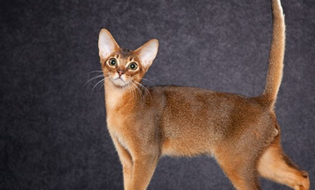 beautiful cat breeds : Abyssinian
