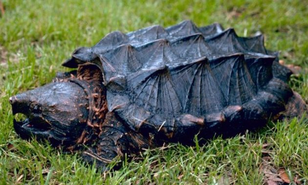 amazing armored animals Alligator Snapping Turtle